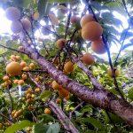 梅の酵素シロップ